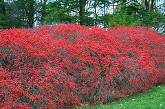 Red Berries (pjpink) Tags: red berries shrub vibrant longwoodgardens gardens pa pennsylvania november 2016 fall pjpink
