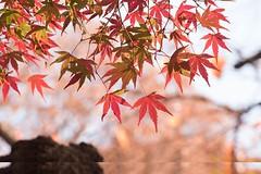 Autumn leaves (mensore) Tags:  autumnleaves maple    tokyo