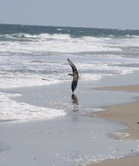 (Blurry Pixels) Tags: ocean bird beach flying waves seagull wave landing