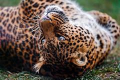 Leopardess rolling (Tambako the Jaguar) Tags: wild grass female cat zoo switzerland big pretty luzern leopard lying lucerne rothenburg rolling nikond700 toniszoo