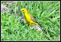 Yellow Wagtail 4 (Diko G.W.) Tags: mygearandme blinkagain flickrstruereflection1 me2youphotographylevel1 freedomtosoarlevel1birdphotosonly freedomtosoarlevel2birdphotosonly freedomtosoarlevel3birdphotosonly freedomtosoarlevel3birdsonly freedomtosoarlevel2birdsonly freedomtosoarlevel3birsdonly infinitexposure