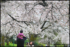 Candid Under The Blossoms - Cherry QE Park N8847e (Harris Hui (in search of light)) Tags: park family people canada vancouver garden children cherry spring nikon photographer bc candid blossoms richmond cherryblossoms citypark queenelizabethpark qepark d300 springblossoms candidphotography fixedlens primelens nikon85mmf18 fixedfocallength nikond300 harrishui vancouverdslrshooter