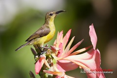Female Yellow-bellied Sunbird, Cinnyris jugularis (alabang) Tags: female cloudy yellowbellied sunbird ibon ebon cinnyrisjugularis itlog jugularis olivebacked cinnyris langam pakpak femaleolivebackedsunbird philippinebirds ef800mmf56lisusm canonef800mmf56lisusm thewonderfulworldofbirds femaleyellowbelliedsunbird