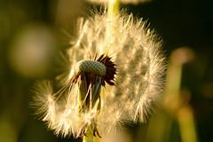 evening (kubse) Tags: nature seeds löwenzahn