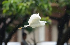 Little egret flying in rain (cl.lin) Tags: bird nature nikon birding sigma egret littleegret wildlilfe d7000