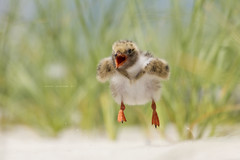 Airborne (Lisa Franceski) Tags: ocean baby beach nature water sand nest wildlife flight chick airborne seabird shorebirds naturalhabitat commontern sternahirundo anawesomeshot commonternchick sigma120400mm canont2i commonternbaby lisafranceski photoofthedaynwf12