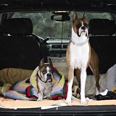 She is Loved (Lori-B.) Tags: love dogs cozy crochet blanket afghan ear boxer minivan alert badweather companions