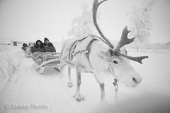 0050 (lesley v) Tags: holiday snow ice finland reindeer husky sweden arctic aurora northernlights january2013 davviarcticlodge