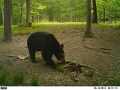 WV Black Bear (ThePoppa) Tags: bear ir wildlife wv blackbear bushnell trailcamera trailcam gamecamera