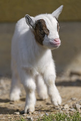 Cute baby goat in the sun (Tambako the Jaguar) Tags: baby brown white cute walking zoo nikon young adorable fluffy goat sunny frauenfeld d4 plttli