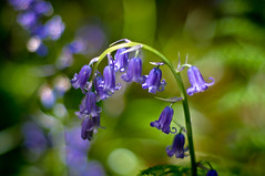 Bells (Mick Holt) Tags: flowers blue green nature bluebells woodland spring pentax bokeh