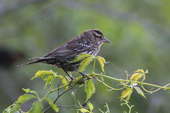 Mrs. Red Winged Blackbird (Piedmont Fossil) Tags: bird wildlife maryland easternshore salisbury redwingedblackbird agelaiusphoeniceus