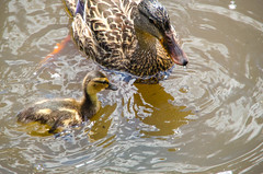 Mother and Child (cahadikin) Tags: lake canada nature water vancouver speed swimming lens photography nikon wildlife ducks sigma columbia cameras shutter british trout lense 18mm 250mm d5100