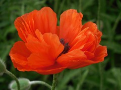 poppies 042 (cellocarrots) Tags: poppies