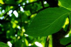 Leaves 020 (Ethan Sztuhar) Tags: sun leaves closeup focus warm close bokeh sony blurred a33 alpha