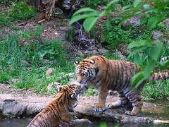 Kiss me (Frau_B_) Tags: nature beautiful zoo colours tiger
