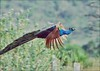 Indian Peafowl  (Pavo cristatus) (Gurusan2010) Tags: agfa effect