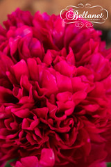 IMG_9752 (bellanetdesigns) Tags: flower idaho paeonia slamon bellanet