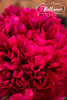 IMG_9752 (bellanetdesigns) Tags: flower idaho paeonia slamon bellanet
