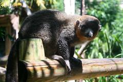 (24/52) Lemur (thechiefwilson) Tags: wild animal bristol dof lemur bristolzoo week24 2013 week24theme weekofjune10 52weeksthe2013edition 522013