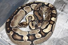 Ball Python (fab_rice2) Tags: reptile snake python ballpython herp regius