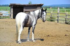 Meet Pony Fagyi in gfalva, Hungary (Attila Ntz) Tags: horse sport nikon pony equestrian lovas fagyi l pni egyeslet gfalva varzsl lovasfot lovasfototk ntzattila lovasfotocom