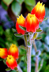 (ojoadicto) Tags: orange flower nature flor naranja