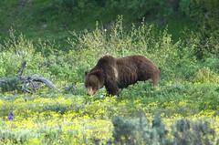 Grizzly Bear (Ursus arctos horribilis) Sow DDZ_6978 (NDomer73) Tags: bear june mammal yellowstonenationalpark yellowstone tetons grizzlybear grandtetonnationalpark 2013 10june2013