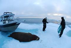 Walrus Hunt 8_5_13 1 342 (efusco) Tags: ocean sea ice alaska native arctic butcher hunter beaufort walrus hunt midnightsun iceburg floe inupiat inupiaq aivik femalewalrushunt85131