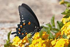Pipevine Swallowtail (Battus philenor); Catalina, AZ [Lou Feltz] (deserttoad) Tags: arizona flower nature butterfly insect desert wildlife swallowtail
