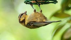 Blue Tit - Just hanging around (Andy Hough Photography) Tags: birds sigma bluetit sigma150500mmf563dgos bestofblinkwinners blinksuperstars