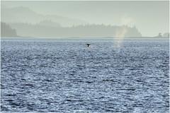 328HDRa (markbyzewski) Tags: alaska ugly humpbackwhale hdr