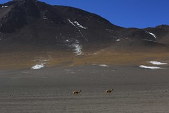 Vicuna Altiplano Landscape Andean High Plateau Bolivia South America (In Memoriam Ngaire Hart) Tags: southamerica bolivia andes altiplano andeanplateau winter landscape volcano volcanic dramatic nature geology dry arid highdesert altitude extreme lake water flamingo steam fumerals boiling mud activevolcanoes salt algae vicuna wildlife awesome chile argentina remote naturereserve season snow rocks formations eriagn ngairelawson ngairehart travel documentary thermal activity dirtroads tracks lagunacolorada lagunaverde eduardoavaroaandeanfaunanationalreserve geothermal