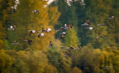 Cranes in Autumn Color (Eric.Vogt) Tags: autumn orange color birds yellow fly washington inflight crane flight places cranes sandhill avian ridgefield