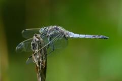 Groer Blaupfeil (Orthetrum Cancellatum) 2509 (fotoflick65) Tags: bug linz insect leo dragonfly libelle insekt f8 garten 32 leopold odonata botanischer fl300 groser orthetrum 300mmf4d cancellatum blaupfeil iso450 iso400800 segellibelle d7000 groslibelle kepplinger st640 y2013 fl250300 st400800 fotoflick65 ni300 ym06