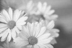 Someday, I'll Breathe Again. (flashfix) Tags: flowers blackandwhite bw ontario canada macro nature floral lines canon 50mm petals bokeh ottawa daisy highkey noise mothernature 2014 backtobasics intentionalnoise 60d canaon60d 2014inphotos april292014
