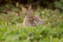 150515_Kaninchen_8_web (Changing Times Photography) Tags: berlin bunnies nature pentax kaninchen tierfotografie wildtierfotografie
