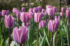 Tulpenspalier (Q-BEE) Tags: flowers fleurs spring flora cologne blumen köln tulip april botanic beet frühling tulipe tulpen botanischergarten