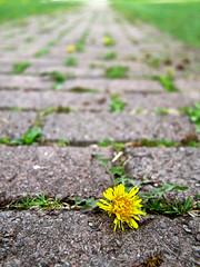 Opportunist... (deanspic) Tags: ontario macro spring weeds weed cornwall path bricks footpath dandilion riverdale brickpath g1x