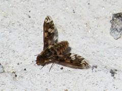 Brown and white, Bee fly (Bombyliidae), Molino Basin, Tucson, April 2015 (Judith B. Gandy) Tags: arizona tucson insects flies invertebrates molinobasin bombyliidae beeflies