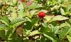 Potentilla indica, Scheinerdbeere (julia_HalleFotoFan) Tags: frucht rosaceae potentilla fingerkraut potentillaindica rosengewächs scheinerdbeere
