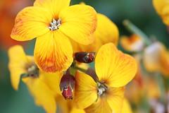Blume (Klaus R. aus O.) Tags: gelb blume knospe oberschwappach