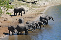 Chobe National Park, Botswana (MJR96) Tags: park red water river outside group drinking national chobe