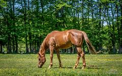 Pustara Višnjica (Milan Z81) Tags: horse nature europe croatia priroda podravina hrvatska slavonija slatina konj ergela višnjica ispaša milanz81 pustara