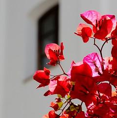 Blanco  y rojas (camus agp) Tags: espaa flores canoneos malaga blancos fachadas rojos bougainvilleas