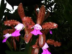 Cattleya leopoldii (betadecay2000) Tags: orchid outdoor pflanze brasilien phalaenopsis lila cattleya ascocentrum blau hybrid amerika blume blte muster bolivien orchide violett hintergrund anggrek orqudea orchidea orkide botanik leopoldii regenwald tropisch  sdamerika botanisch schwarzer orkidea hybride   orhidee epiphyt   fotorahmen orhideja orkideo orchidej   suksamran    orchieen  organisches  terristisch