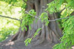 Arnold Arboretum-20150524-075.jpg (Eastlake) Tags: plant dawnredwood