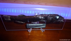 Alepocephalus rostratus. Pez abisal disecado. Abyssal fish taxidermy (Fran Martín de la Sierra) Tags: ocean blue sea fish black pez eye marina mar stuffed mediterranean head smooth deep campana stuff fisher creature exploration pesca rare marino risso mediterráneo decoración coleccionismo biología criatura polycarbonate metacrilato metopa abisal insólito abyssal rostratus taxidermia disecado policarbonato taxydermy disecar batipelágico batial mesopelágico alepocephalus batipelagico