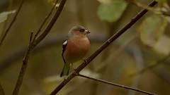 Chaffinch (J @BRX) Tags: adeldam goldenacrepark bramhope leeds yorkshire england uk november2016 autumn yorkshirewildlifetrust bird chaffinch finch male