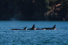 ?, ?, J-22 Oreo (Jennifer Stuber) Tags: seattle washington sanjuanislands sanjuan friday harbor orca killer whale orque killerwhale southernresidentorcas southernresidentkillerwhales srkw